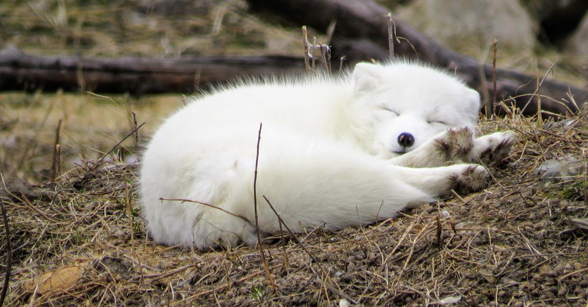 Valkoinen ketunpoikanen lepää syksyisessä maastossa.