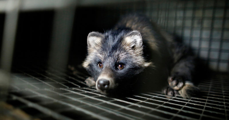 Raccoon dog lookin to the camera in a cage.