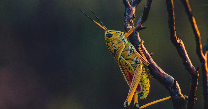 Sattuuko sirkkaan, tunteeko termiitti? Kuvassa sirkka oksalla.