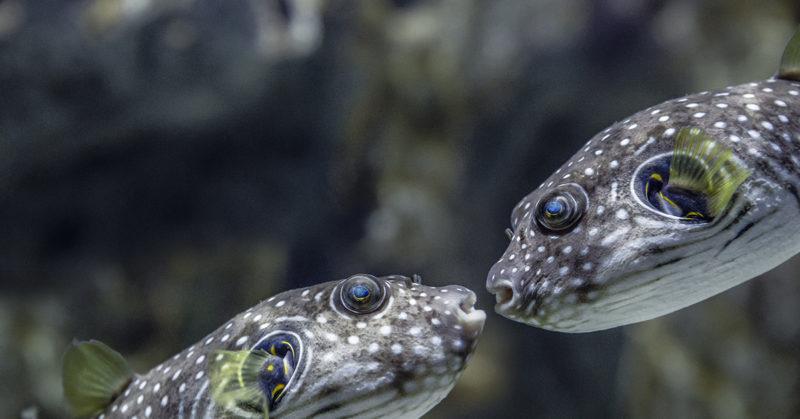 Kaksi kalaa tutustumassa toisiinsa.