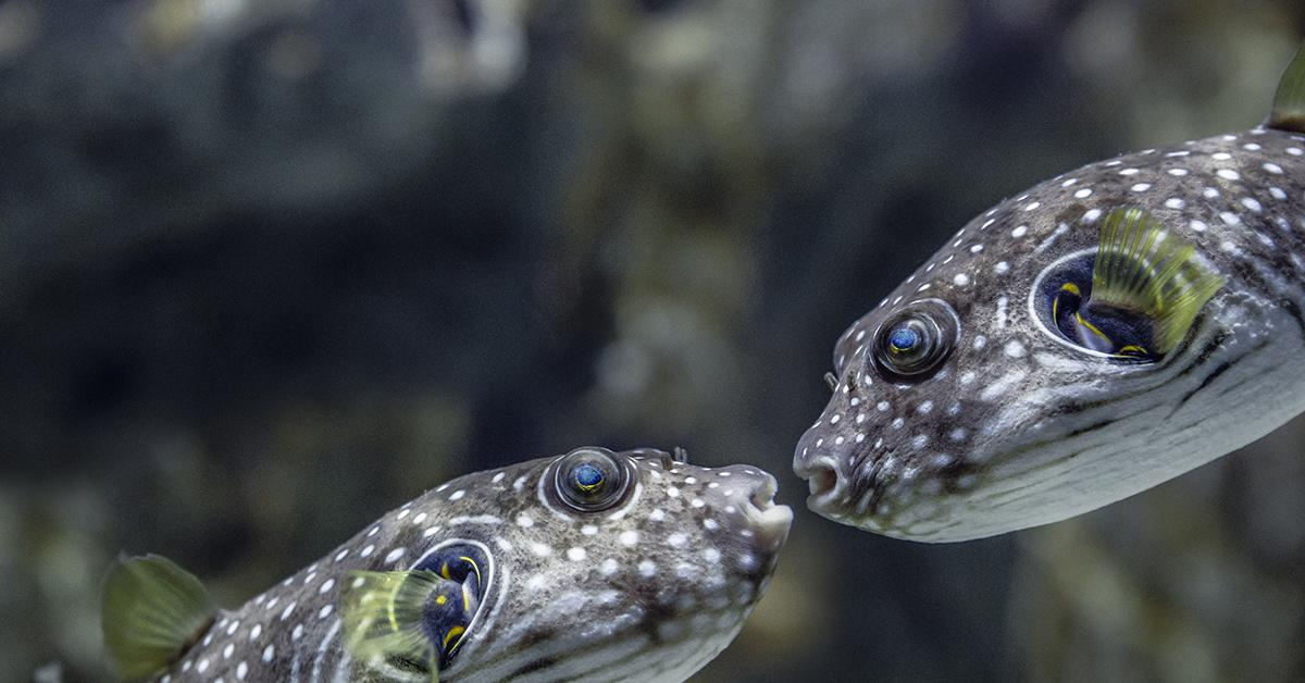 Kaksi kalaa suut vastakkain.