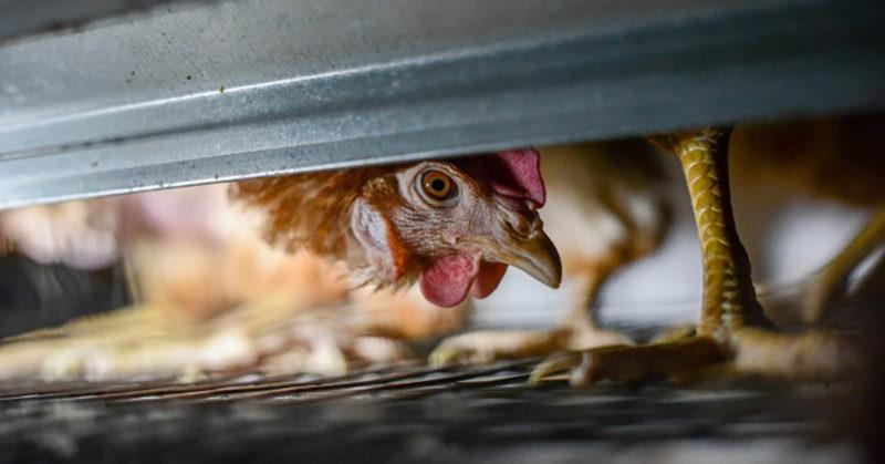 Yhä useampi yritys luopuu häkkikananmunien käytöstä. Kuvassa kana häkissä.