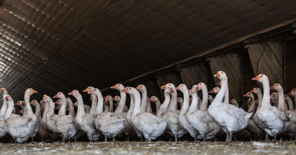 Untuvantuotannon takana voi yhä olla elävien lintujen nyppimistä