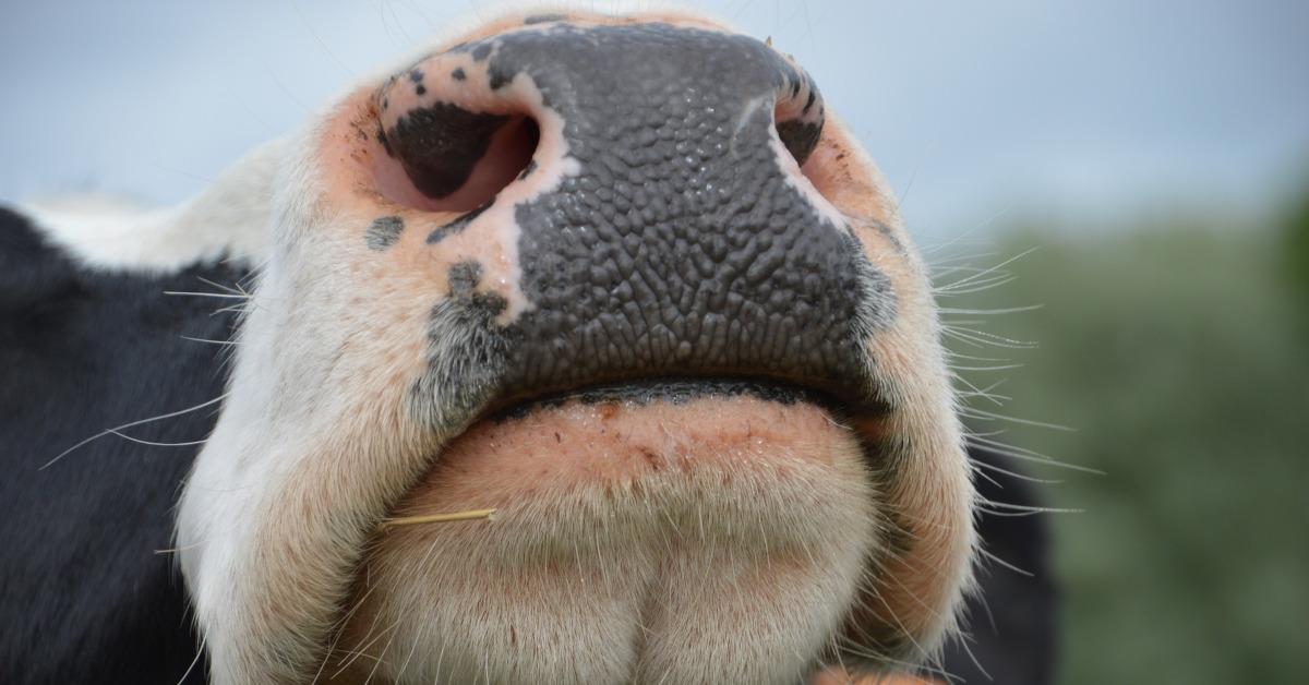 Euroopassa karjatalous on täysin riippuvainen EU-tuista. Kuva naudan  turvasta.
