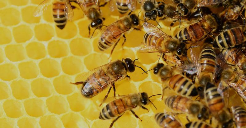 Mehiläisiä hunajapesässä.