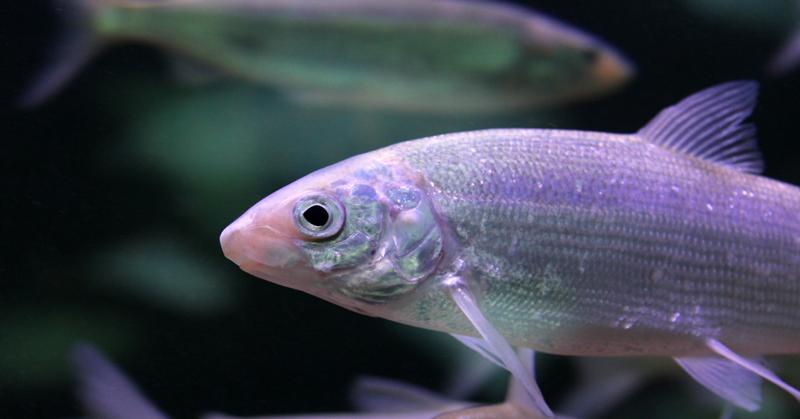 Taitavat kalat. Kuvassa värikäs kala.