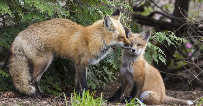 Kettuemo hoivaa poikastaan metsässä.