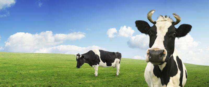 Vegaaninen ruokavalio on merkittävin asia, mitä voi maapallon hyväksi tehdä. Kesäisessä kuvassa lypsylehmät laitumella.