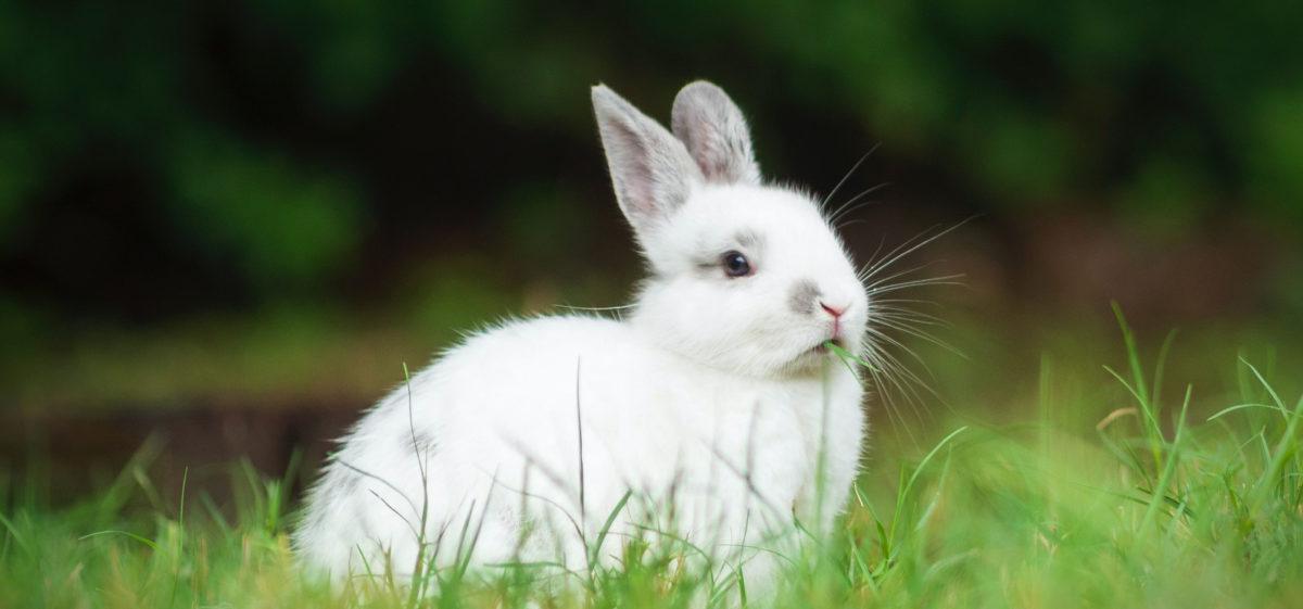 Valkoinen kani istuu nurmikolla.