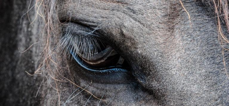 Hevosen katse lähikuvassa.
