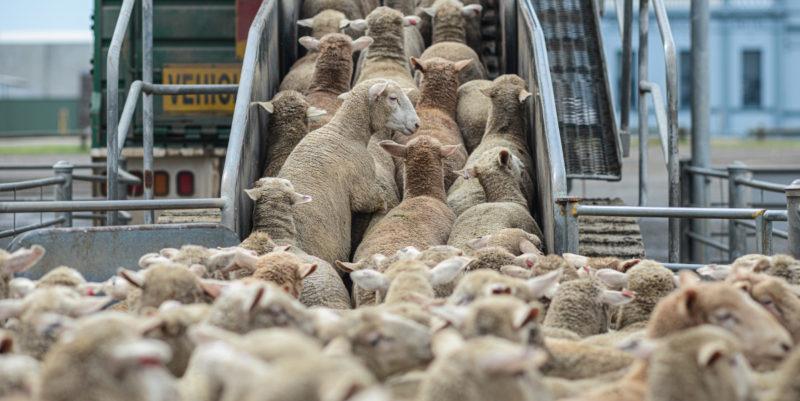 Lauma lampaita kiipeää lastaussiltaa pitkin laivaan.