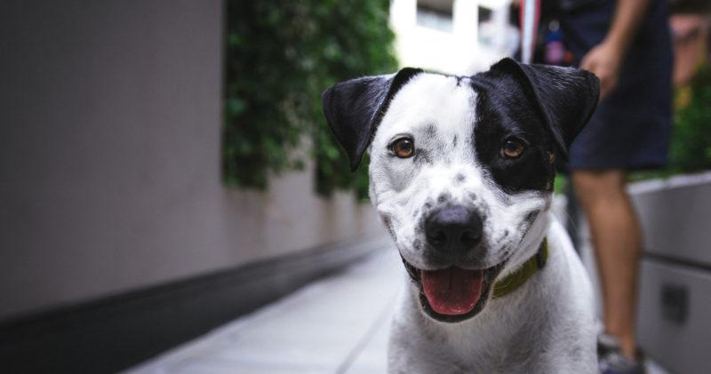 Mustavalkoinen koira katsoo luottavaisena kohti kuvaajaa.