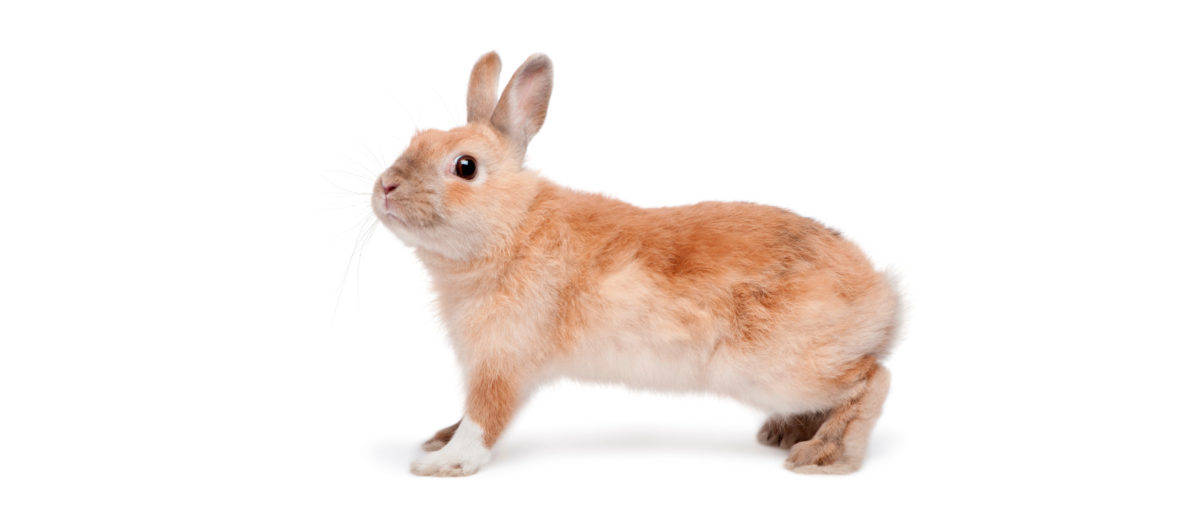 Ruskea kani