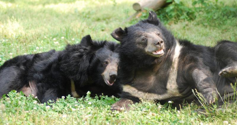 Animals Asian karhujen turvakodissa asuvat kaksi karhua makoilevat nurmikolla.