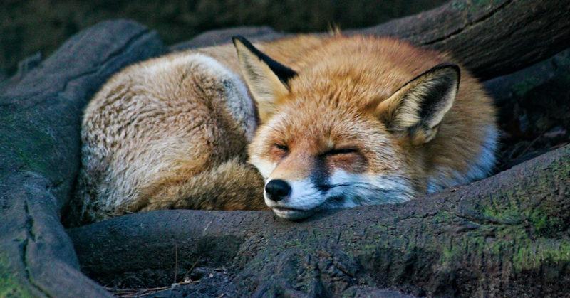 Vapaa kettu nukkuu kalliolla tyytyväisen näköisenä.