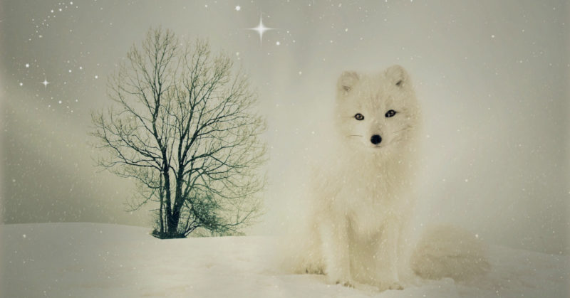 Valkoinen kettu lumihangessa.