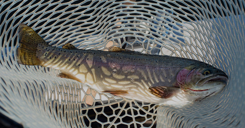 Rainbow trout caught using a hand net.