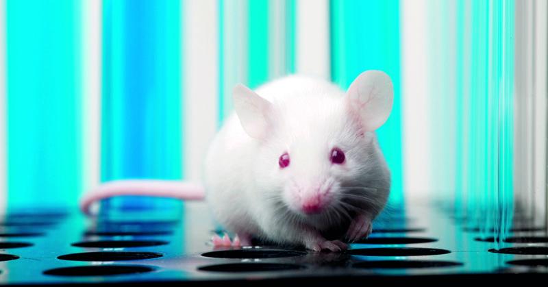 Koe-eläinlaitoksessa paljastui räikeää lain rikkomista. Kuvassa hiiri laboratorio-oloissa.