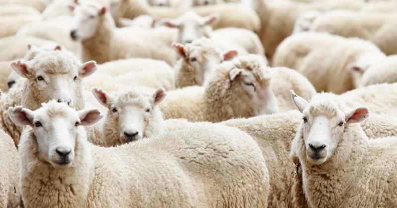 Villapaitojen nurja puoli. Kuvassa paljon lampaita.