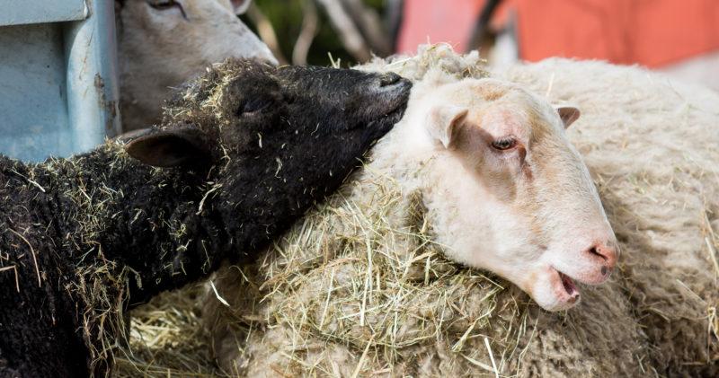 Kaksi lammasta rapsuttelee toisiaan eläinten turvakodissa.