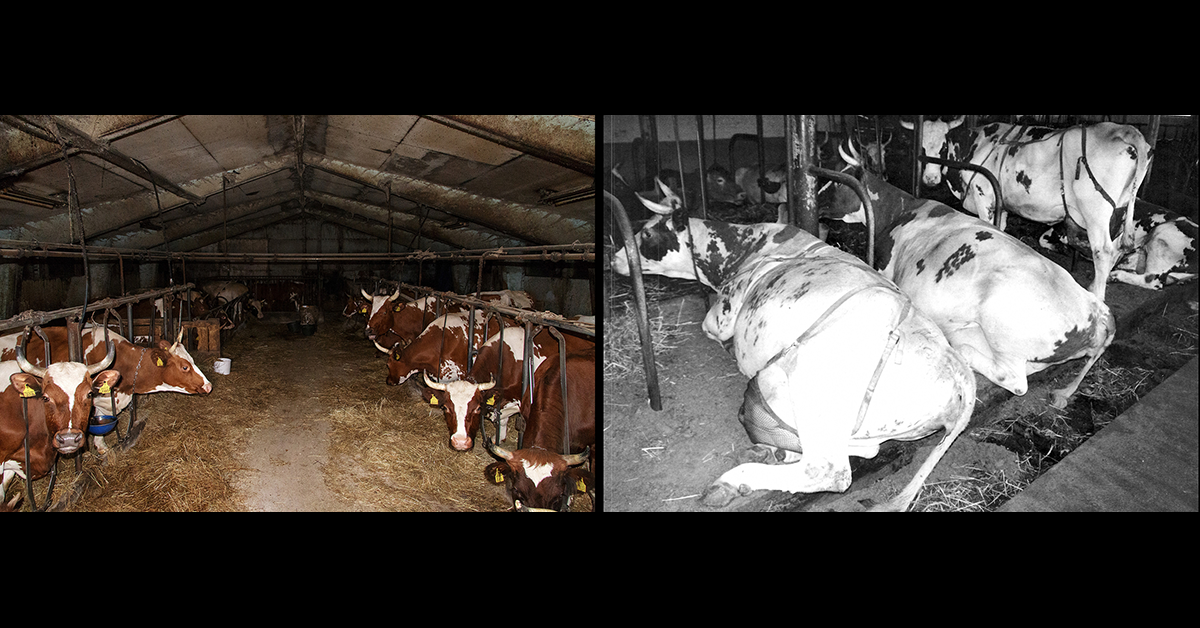 Länkiparressa lehmä on kytkettynä kaulasta kahden raudan väliin, ja raudat ovat kiinnitetty ketjulla lattiaan. Tämä kytkyttyyppi rajoittaa liikaa eläimen liikkeitä ja vaikeuttaa merkittävästi kehonhoitoa.