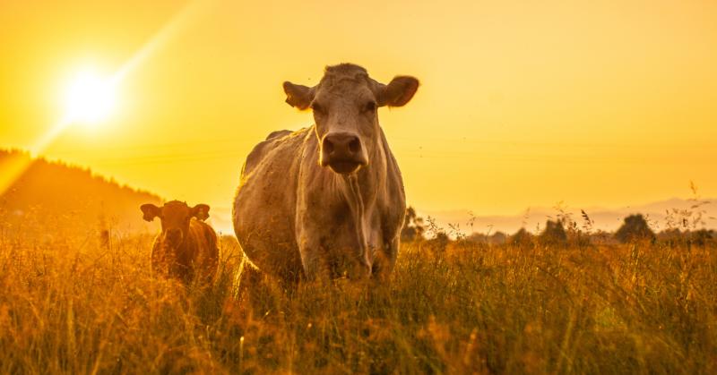 Lehmiä ulkona kultaisessa auringonvalossa.