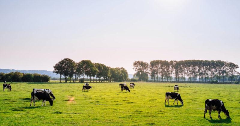 Lehmiä aiduntamassa avaralla pellolla.