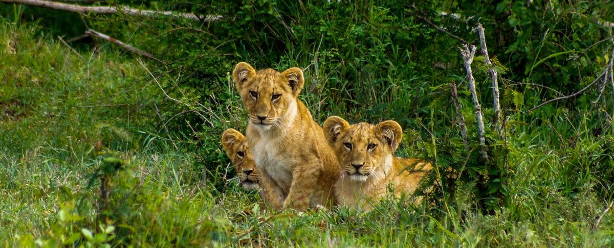 Kolme leijonanpentua makaa heinikossa.