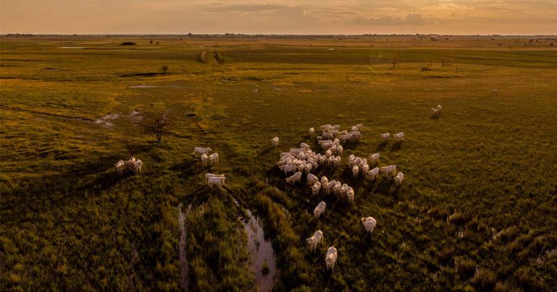 Nautoja laiduntamassa pellolla.