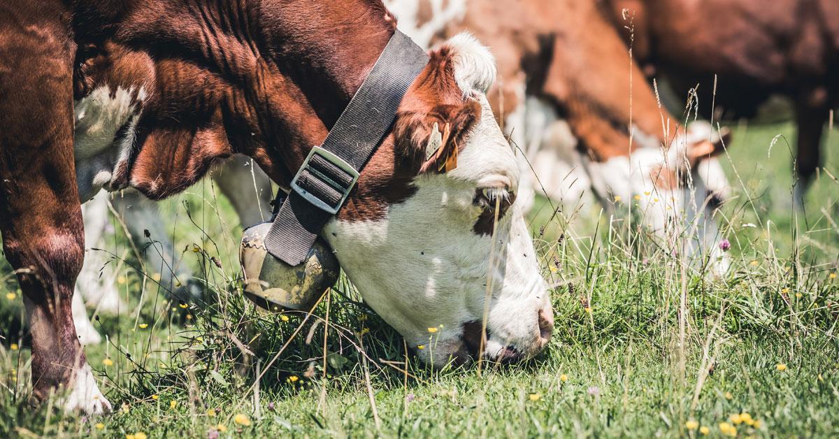 Nautoja laiduntamassa vihreällä nurmella. Etualalla olevan naudan kaulassa on lehmänkello.