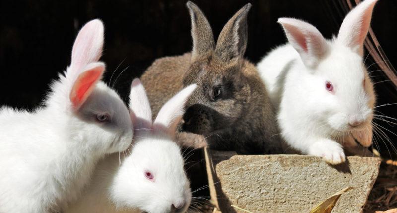 Neljä kanin poikasta istuu ryhmässä