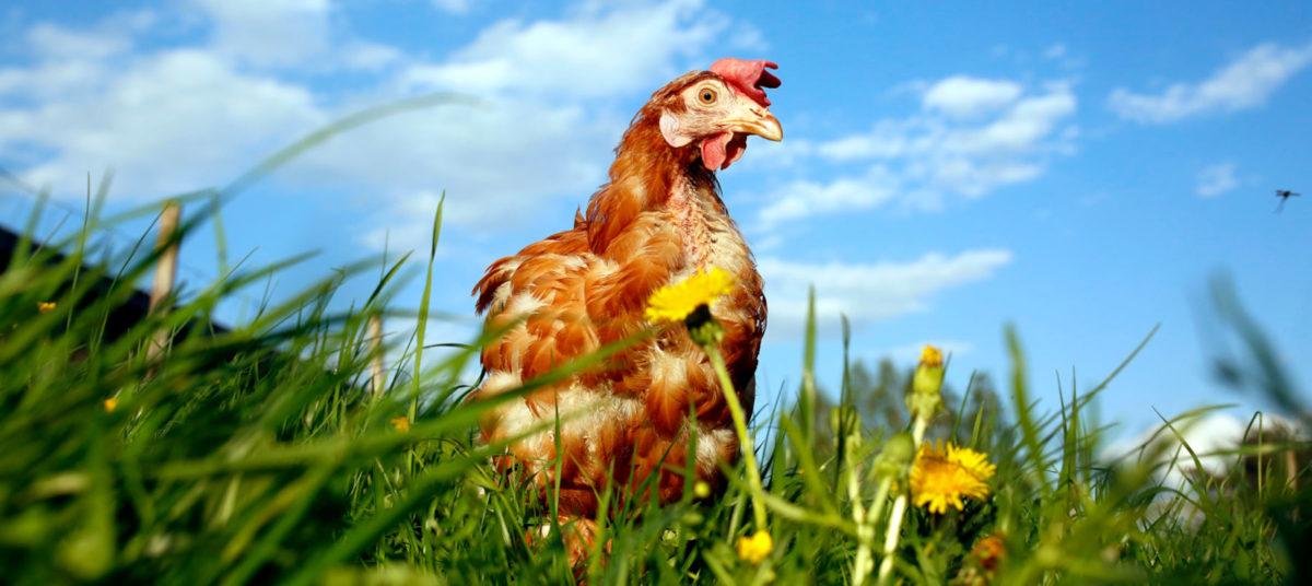 Tuotantokanalasta pelastettu ruskea kana seisoo voikukkaniityllä.