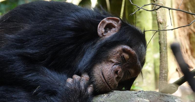 Yksi väärä ja monta oikeaa. Kuvassa lepäävä simpanssi.