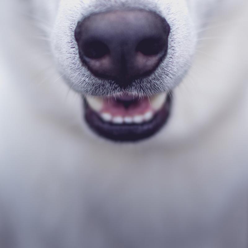 Lähikuvassa koiran normaali kuono.