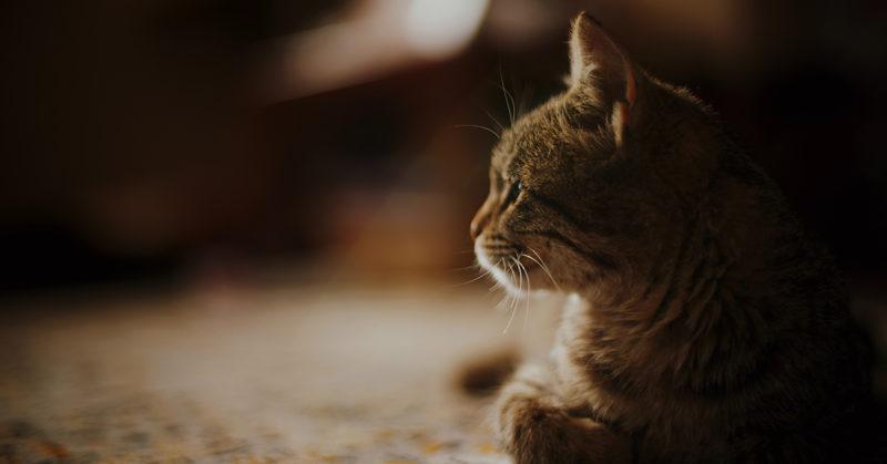 Kissa makoilee lattailla ja katsoo vasemmalle päin.