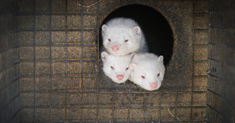 Kolme minkkiä makaa pesäkopin suuaukossa turkistarhan häkissä.
