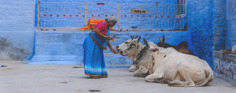 Nainen ruokkii kadulla makaavia lehmiä Intiassa.
