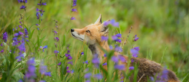 Kettu seisoo sinisten kukkien keskellä niityllä.