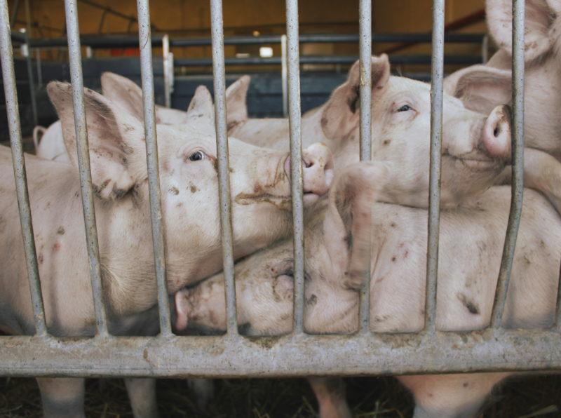 Tarkastusraportin mallioppilas? Millä tavoin Suomi on osa eurooppalaista tehomaataloutta. Kuvassa sikoja ahtaissa oloissa.