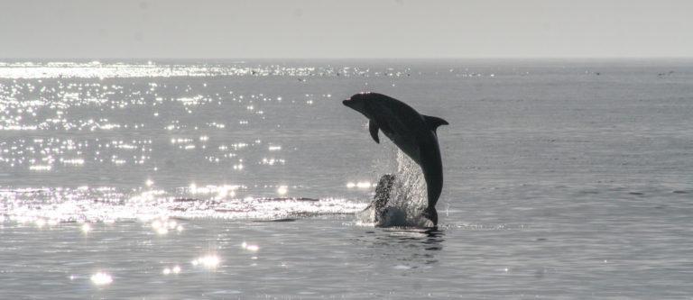 Delfiini hyppää meren pinnan yläpuolelle.