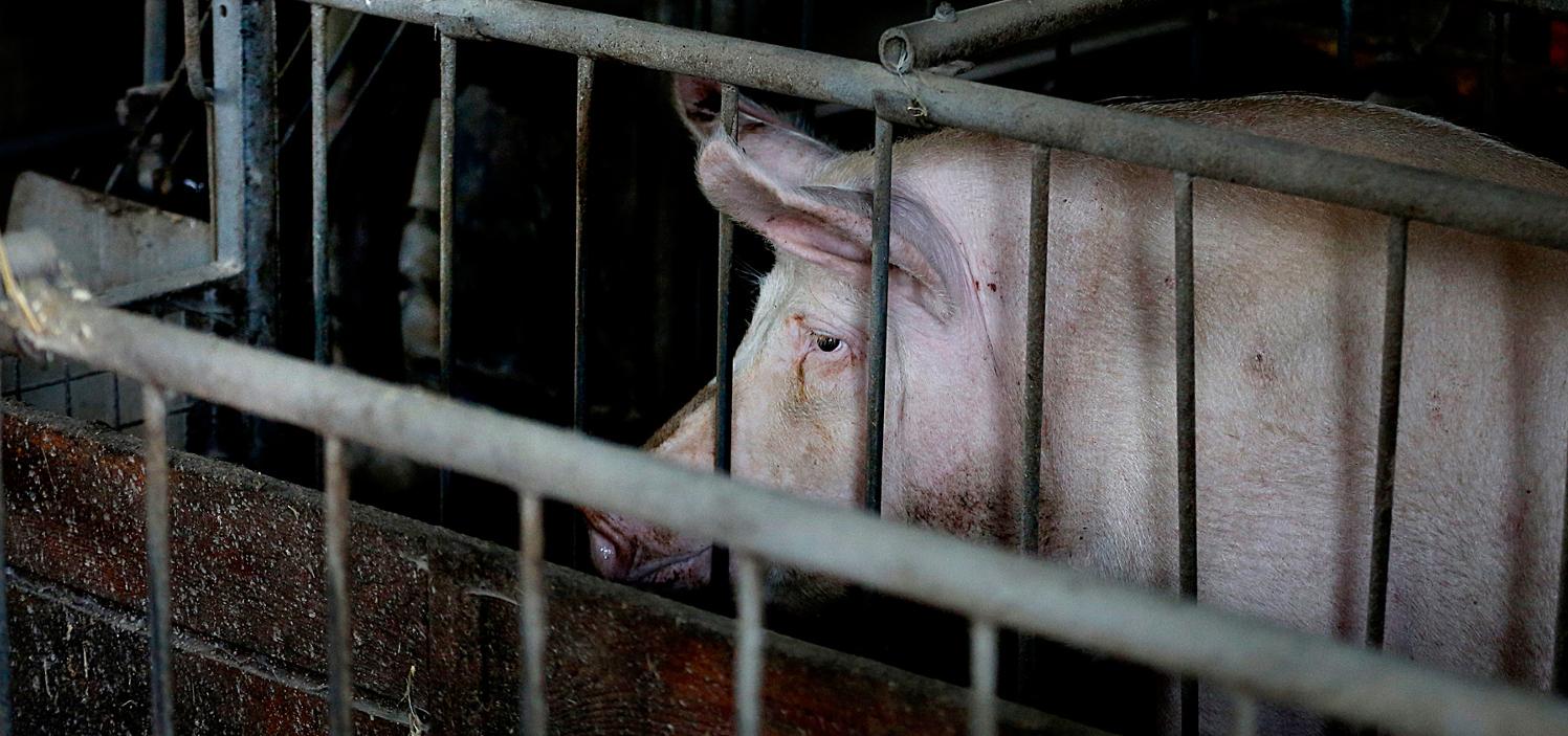 Emakkohäkissä oleva sika katsoo surullisen näköisenä eteensä.