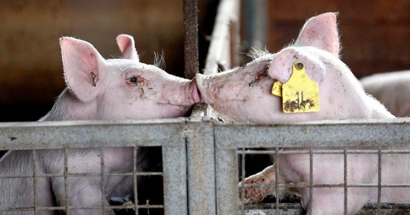 Kaksi porsasta kurottelee karsinan laidan yli ja koskettaa kärsillä toisiaan.