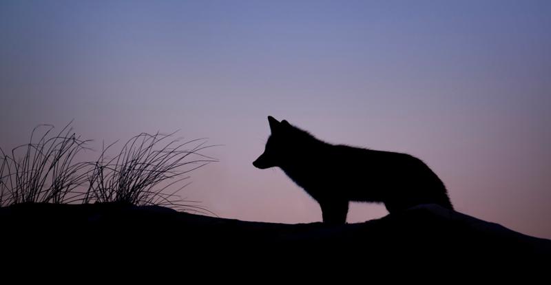 Eläinten oikeudet kuulokkeissasi. Maisemakuva, jossa on susi.