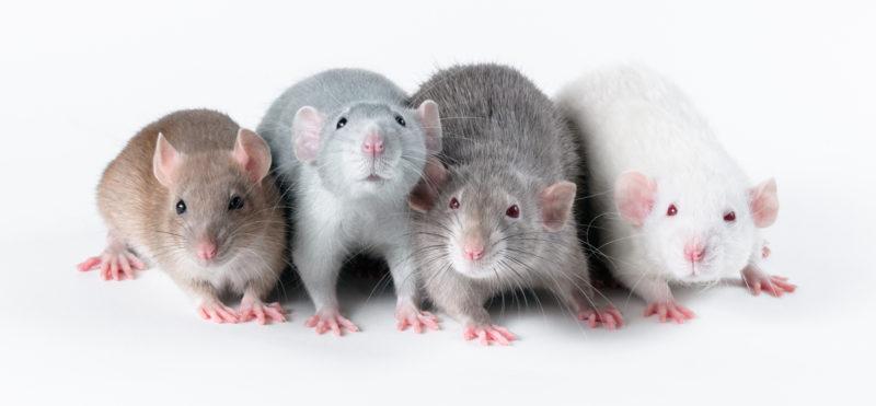 Neljä rottaa seisoo pöydällä vierekkäin.