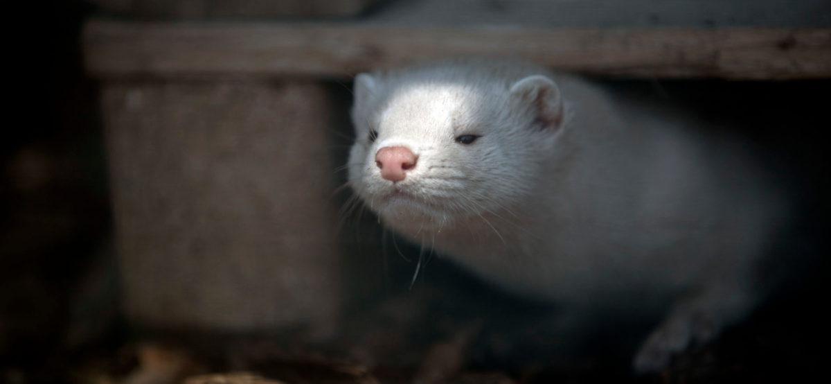 Eläinten turvakodissa asuva vaalea minkki katselee kuormalavan alta.