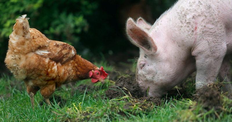Eläinten turvakodissa elävät kana ja sika tonkivat yhdessä maata.
