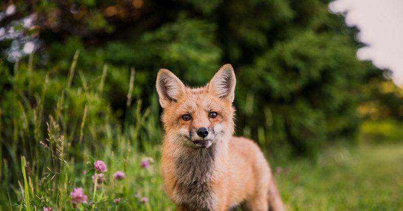 Lupaavia eläinuutisia Virosta. Kuvassa kettu kauniin luonnon ympäröimänä.
