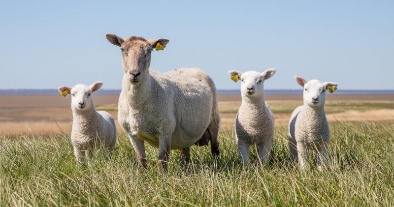 Lammas ja kolme karitsaa ovat niityllä.