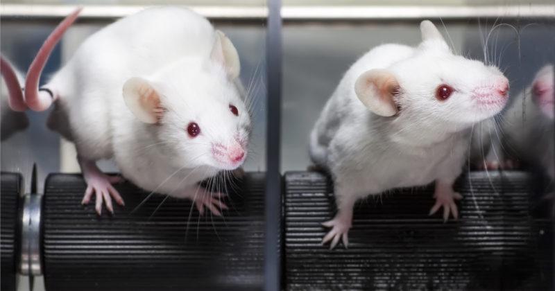 Kaksi valkoista hiirtä seisoo kumimatolla.