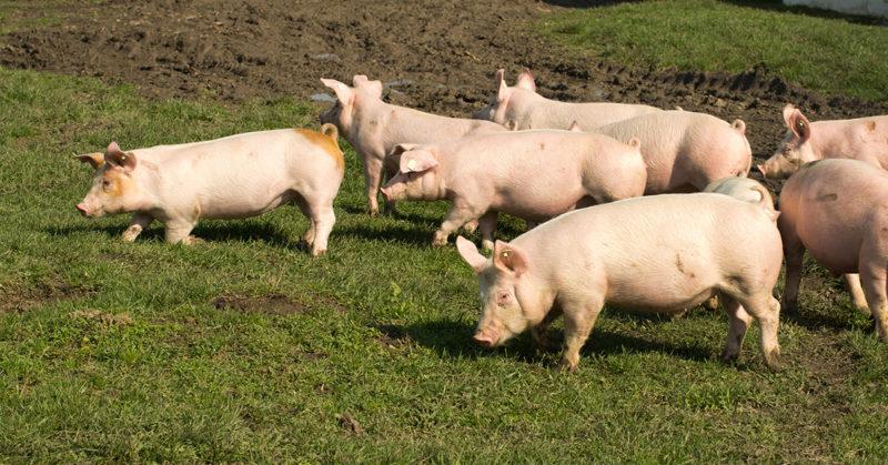 Utelias sika luottaa lauman voimaan. Kuvassa sikoja vehreällä nurmikolla.